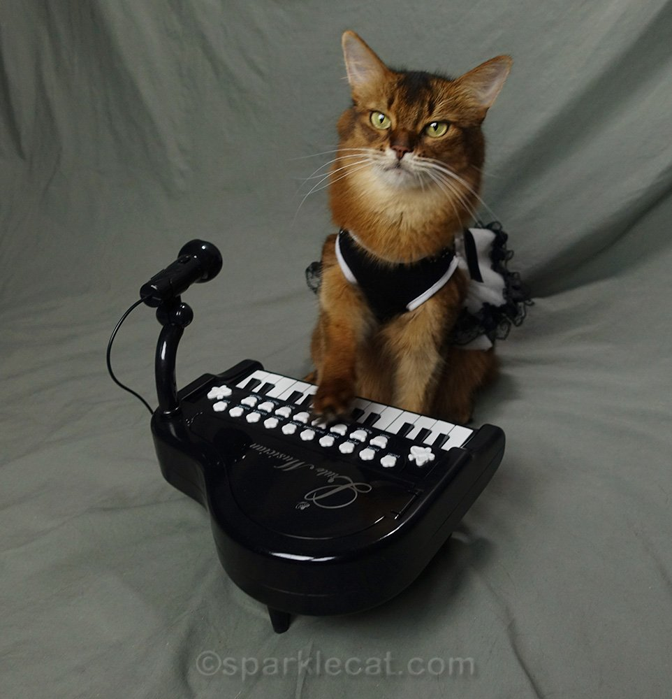 somali cat in formal wear at tiny piano