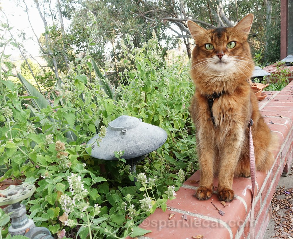 In this blog post, Summer is checking out her catnip garden... and there is a video of her enjoying some of her nip too!