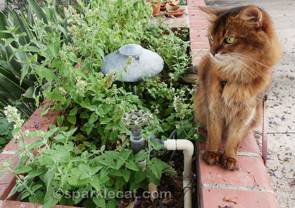 Somali cat checking out the new catnip plant