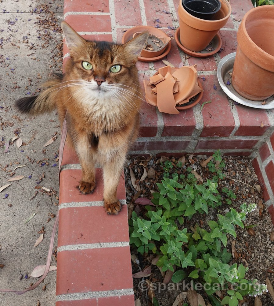 somali cat looking at catnip in other planter