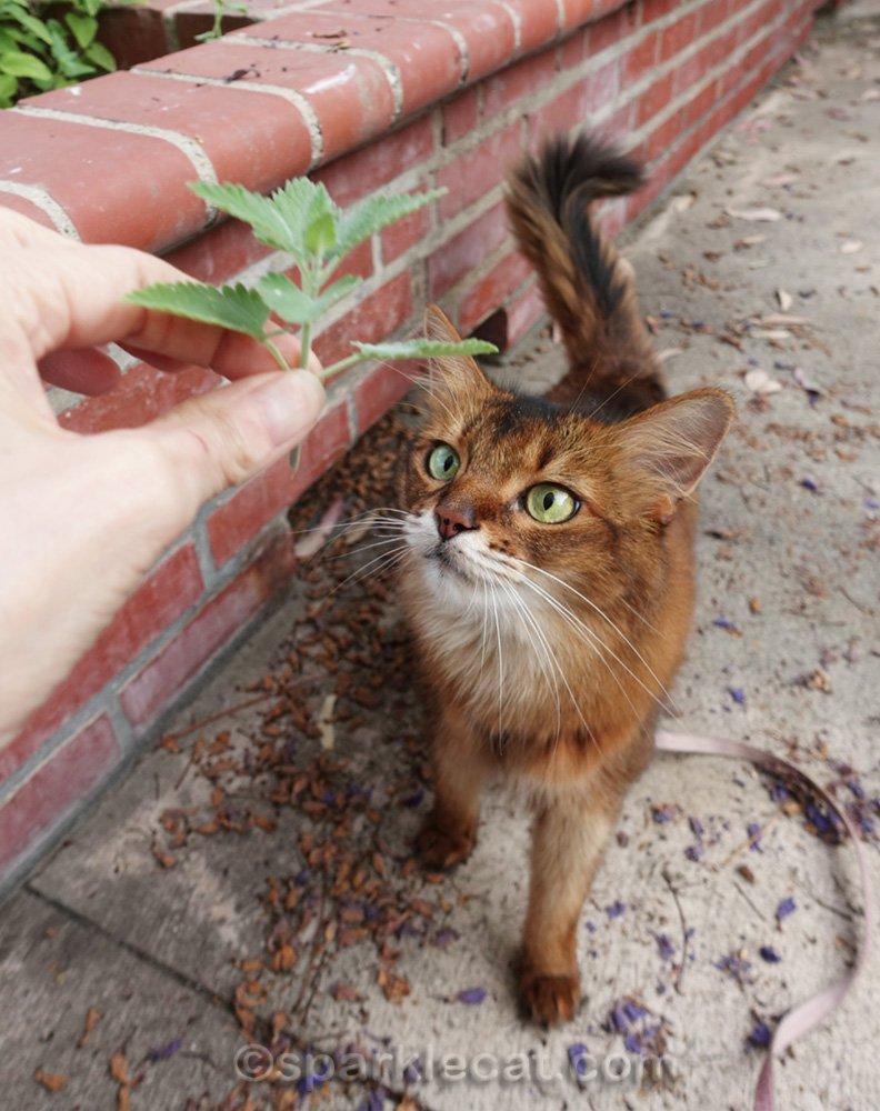 Somali cat looking at sprig of catnip