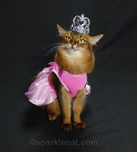 somali cat trying on a large crown with princess dress