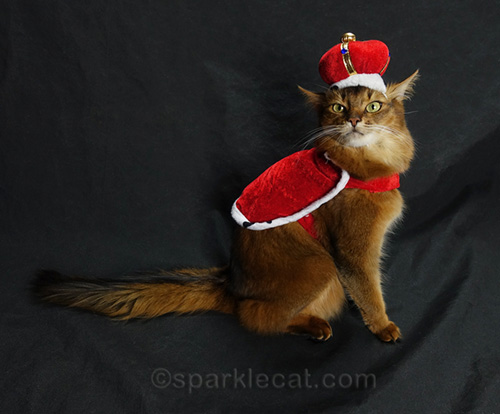 somali cat in a queen costume