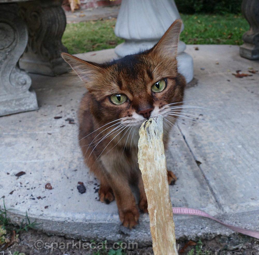 somali cat takes a whiff of a turkey tendon