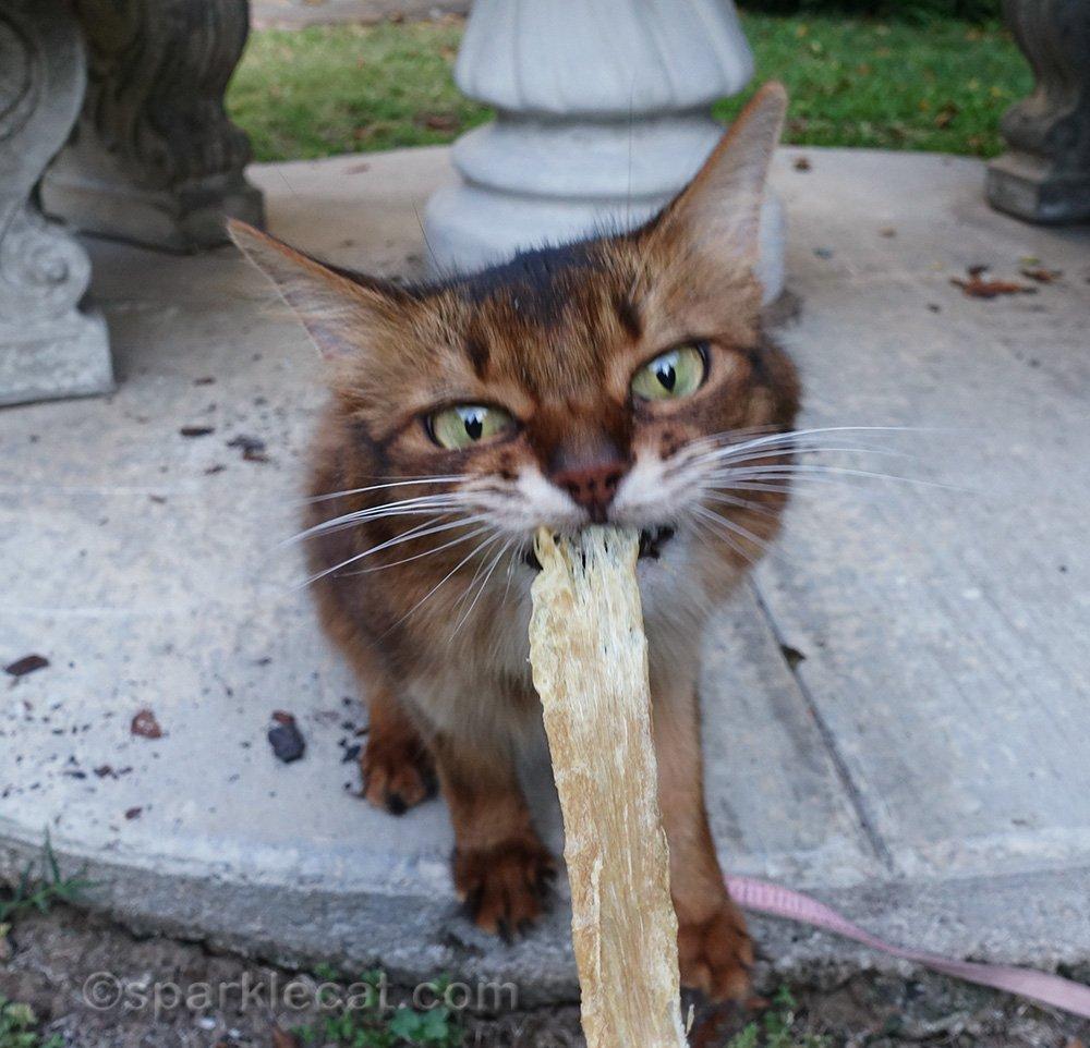 somali cat trying to take turkey tendon