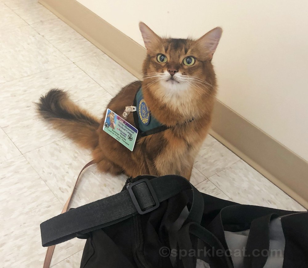 Summer returns to the big hospital for a therapy cat visit for the first time since the pandemic.