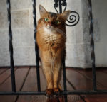 somali cat on iron turret railing