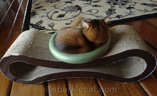 somali cat in ring, looking away from camera