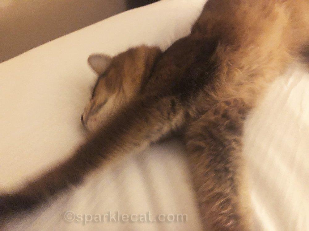 somali cat stretching