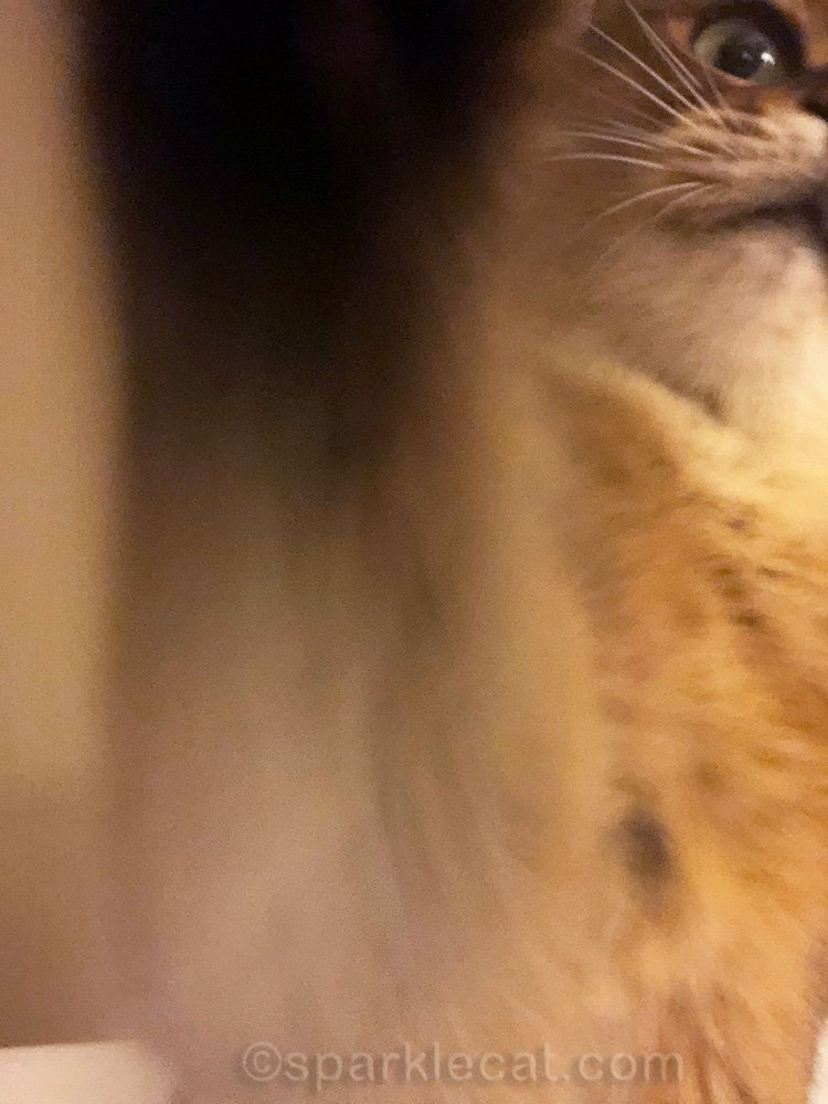 somali cat reaching for iPhone