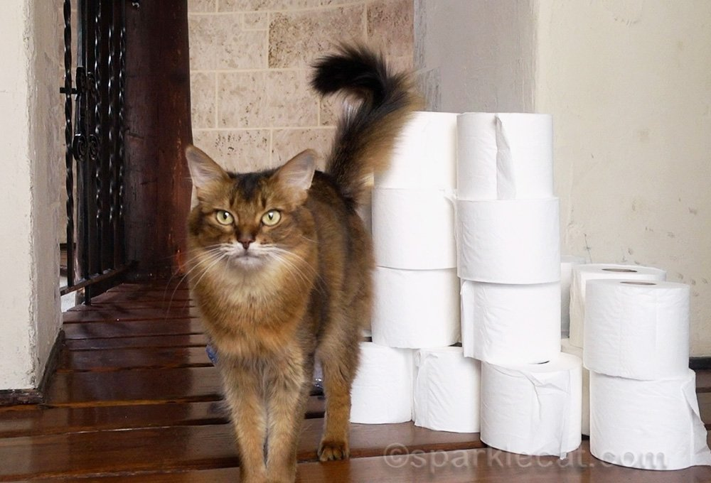 somali cat with rolls of toilet paper