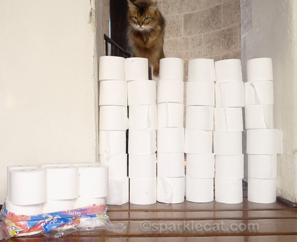 somali cat jumping over wall of toilet paper