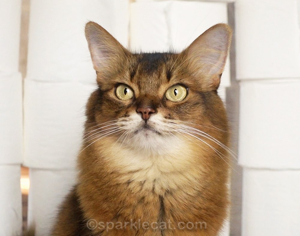 somali cat poses in front of a wall of toilet paper