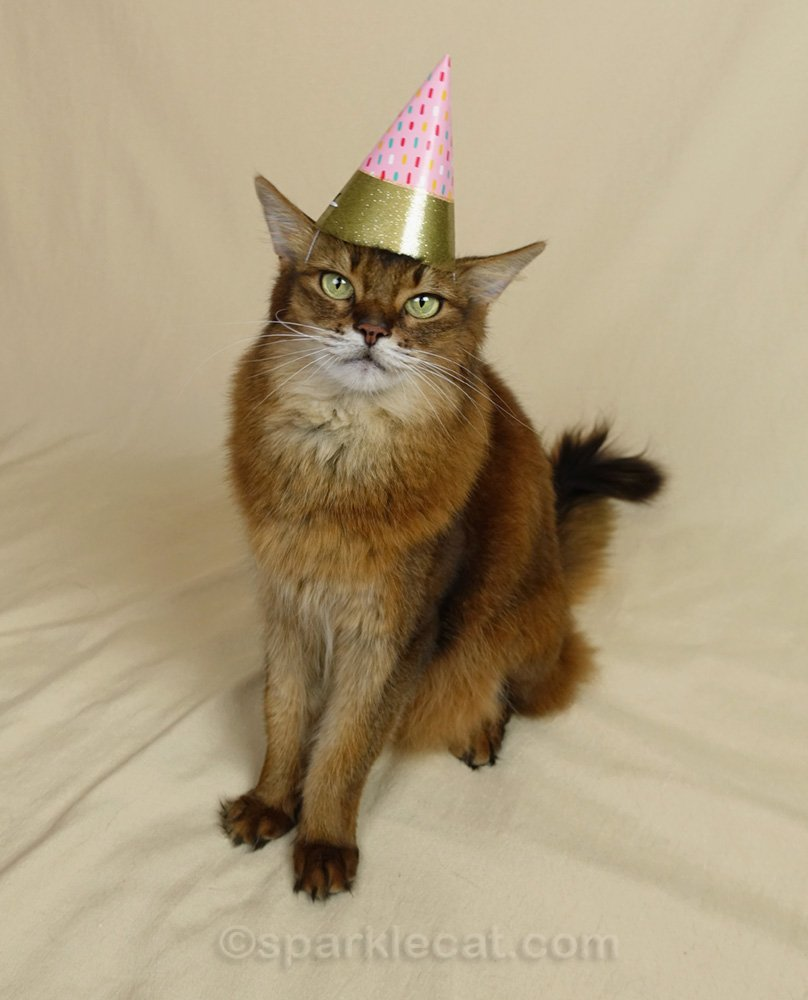 Somali cat wearing a simple but festive birthday hat