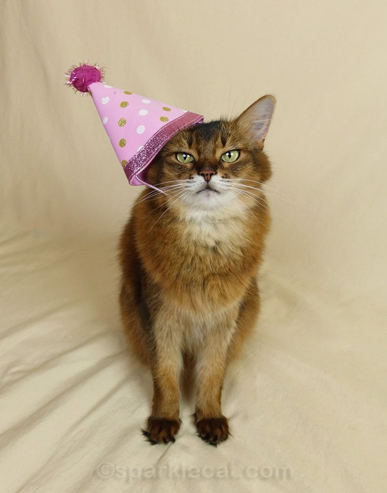 Somali cat wearing an ill-fiting party hat