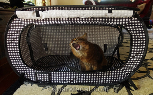 somali cat chewing on mesh of cat show kennel