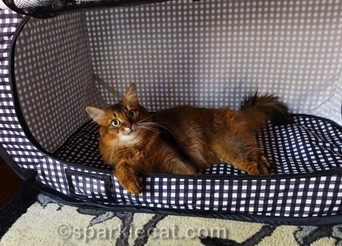 somali cat relaxing in her new cat show crib