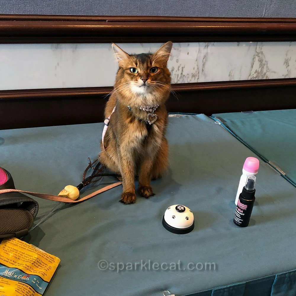 somali cat getting ready for her Meet and Greet