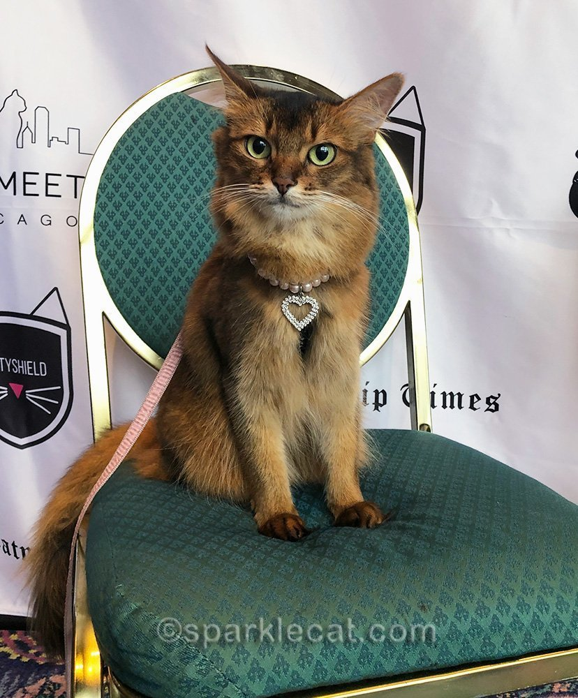 somali cat sitting in chair for meet and greet