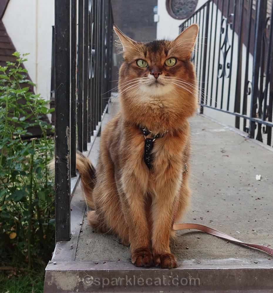Somali cat sitting at entrance to bridge