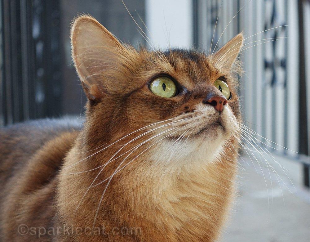 somali cat outside watching birds