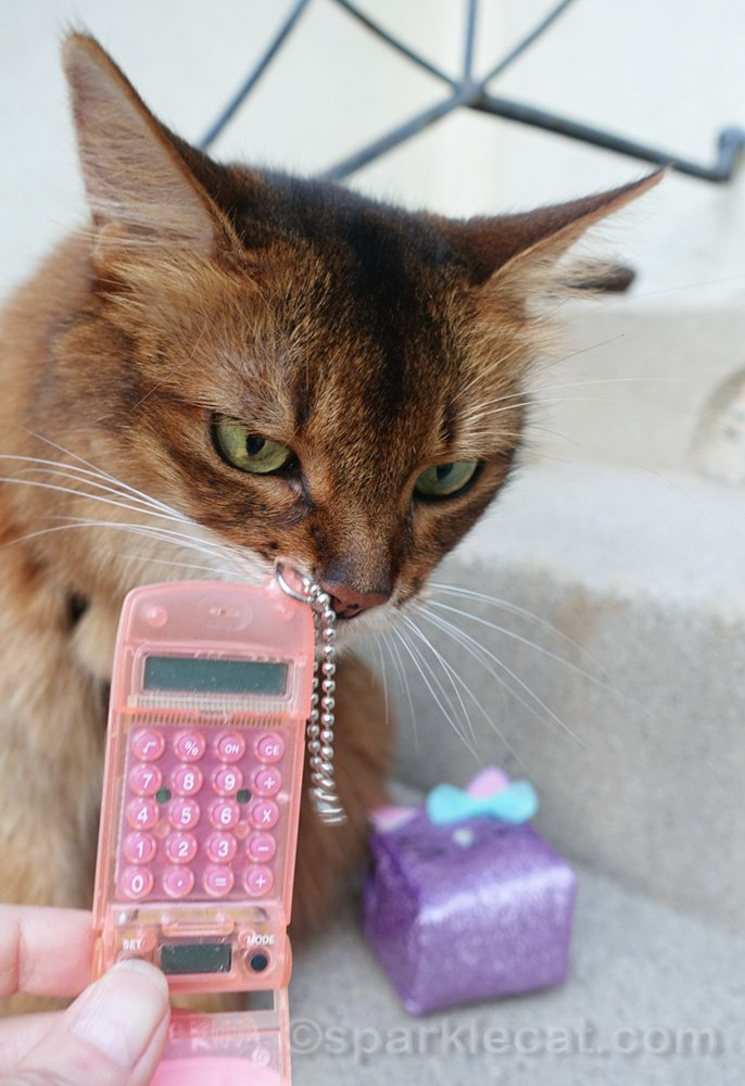 Somali cat looking at old toy phone