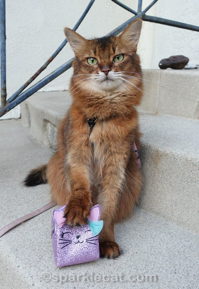 Somali cat with paw on backpack
