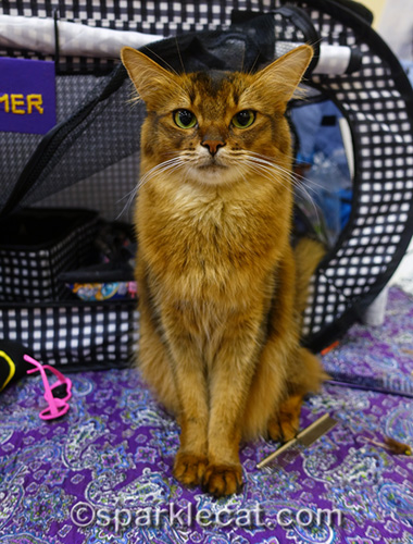 somali pet me cat at cat show