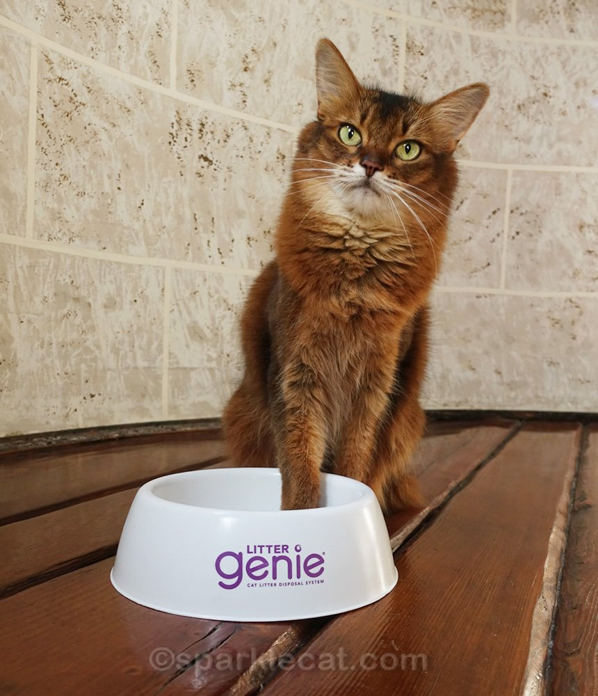 Somali cat with one paw lightly in bowl