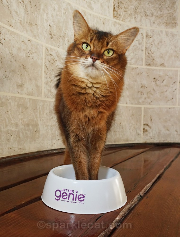 Somali cat posing with front paws in plastic food bowl