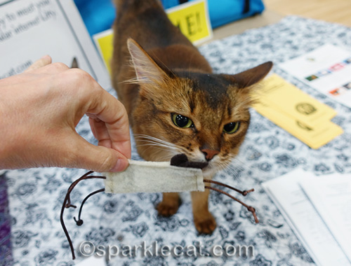 somali cat sniffing awesome cat toy
