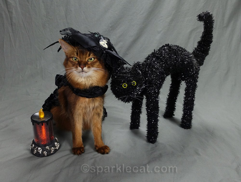somali cat unhappy about posing with halloween cat