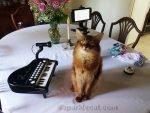 somali cat preparing for Meowy Hour