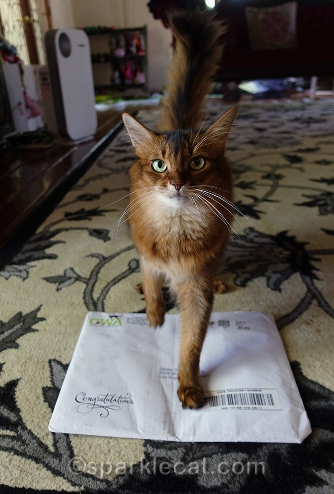somali cat standing on envelop