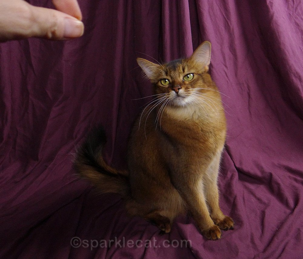 somali cat with human's hand in shot