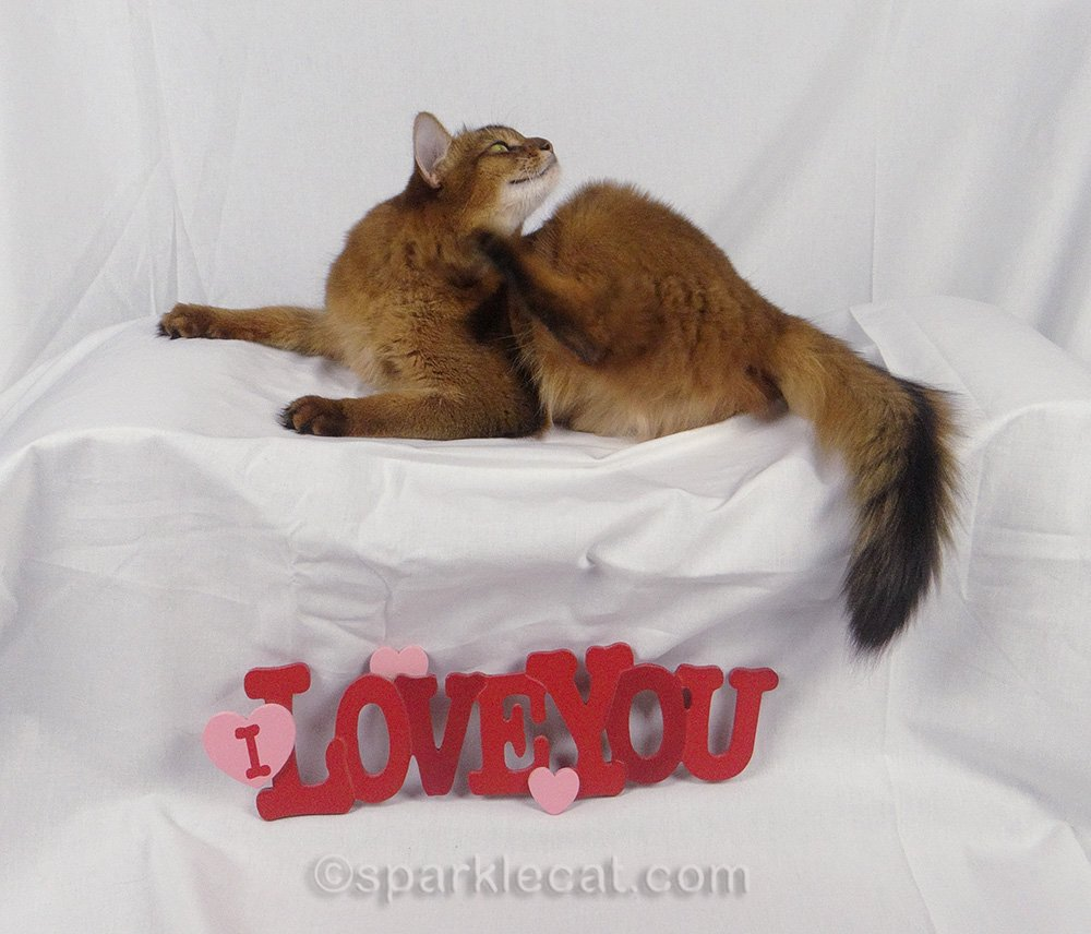 somali cat scratching during photo session