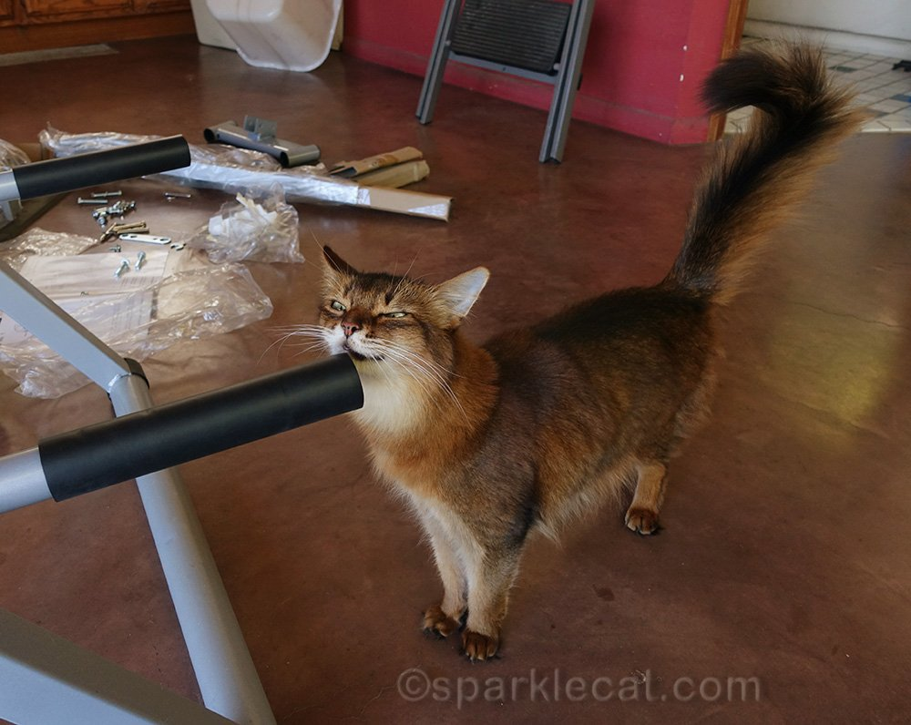 somali cat rubbing on part of inversion table