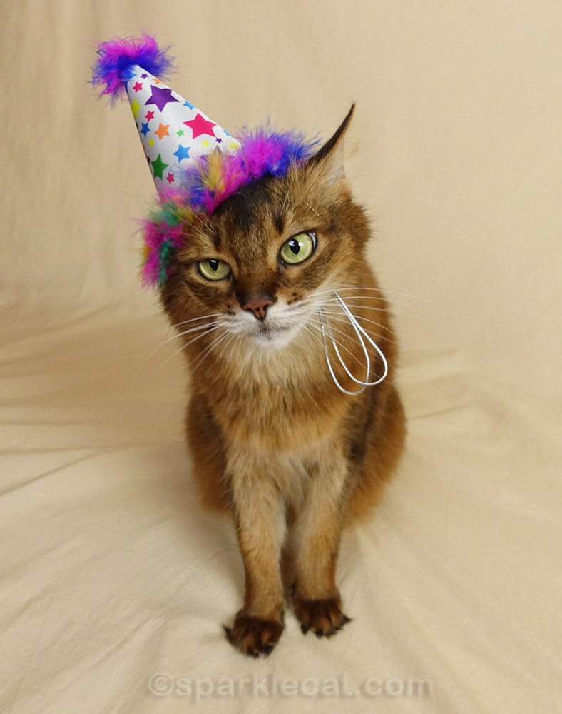 somali cat not thrilled about birthday cat hat
