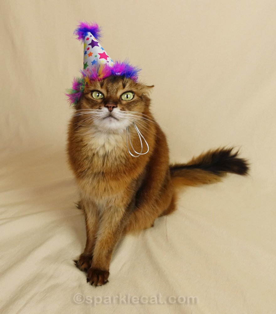 Somali cat making crazy face with birthday cat hat on
