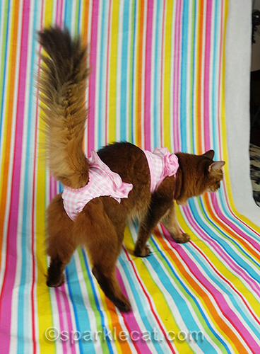somali cat in bikini walking off set