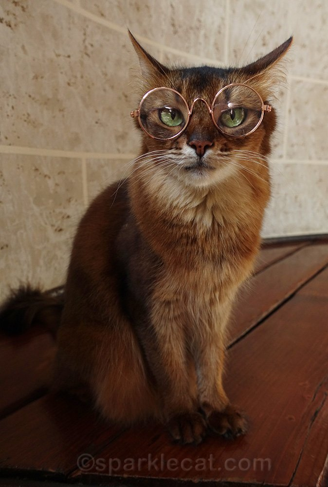 somali cat wearing cat glasses