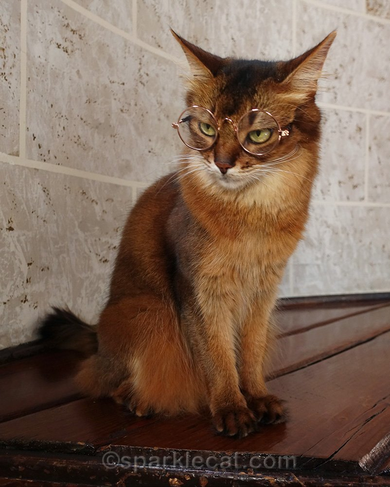 stern somali cat trying to pose with glasses