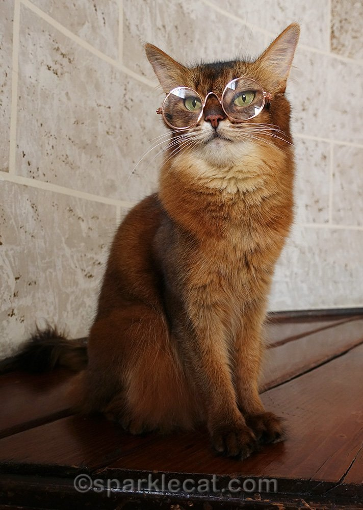 somali cat with cat glasses on
