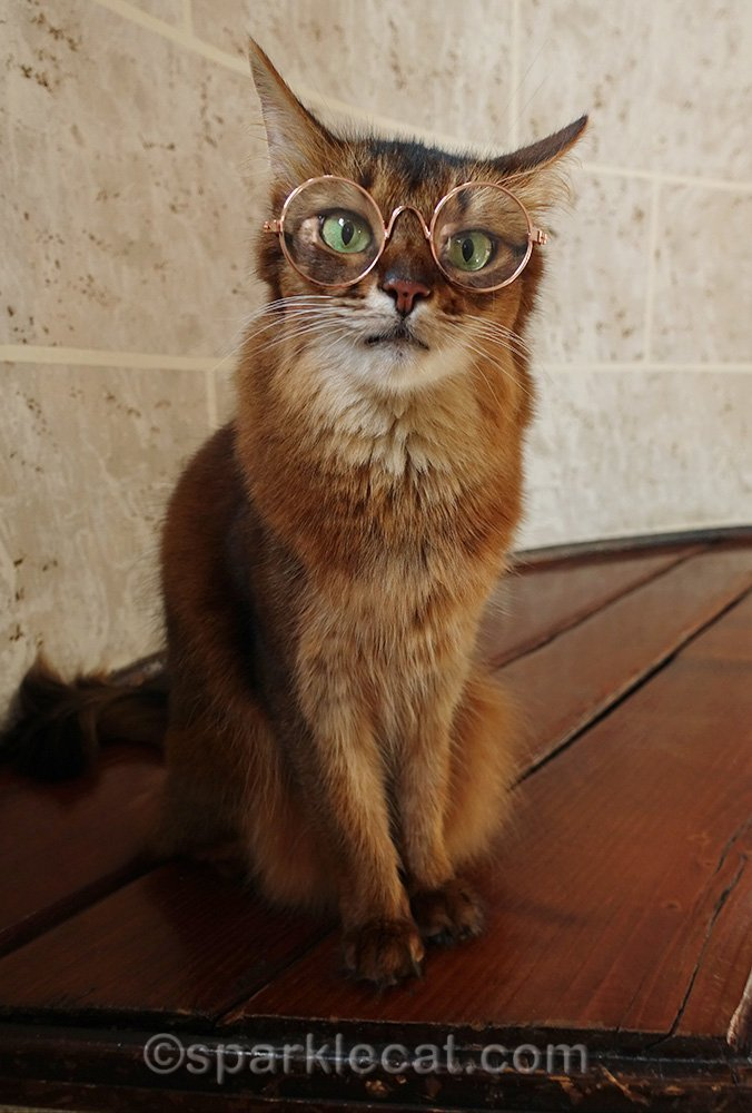 somali cat wide-eyed behind cat glasses