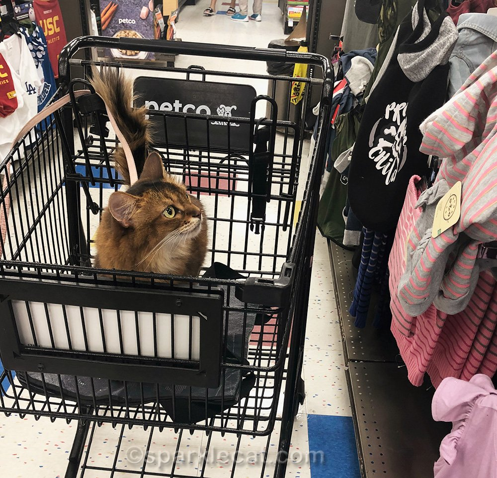somali cat looking at clothing section of pet store