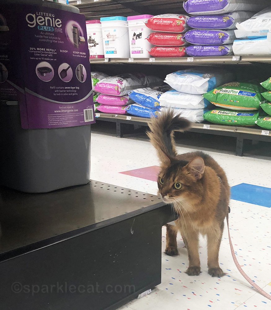 somali cat rubbing on pet store shelf