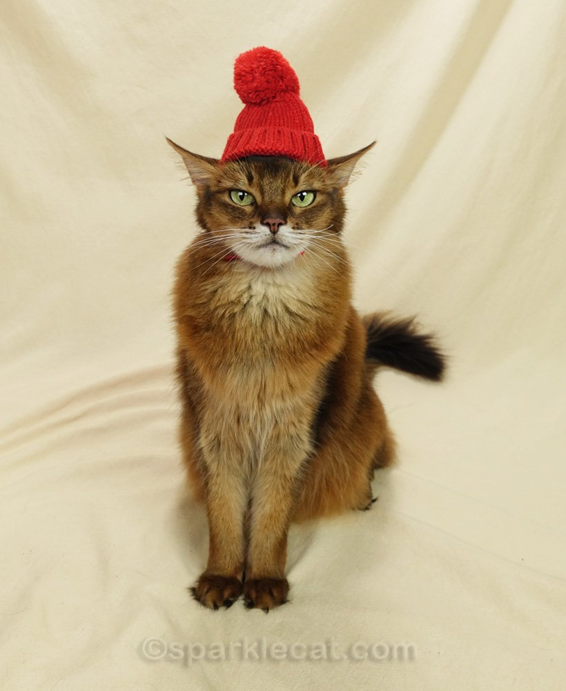 Somali cat wearing a knit ski cap