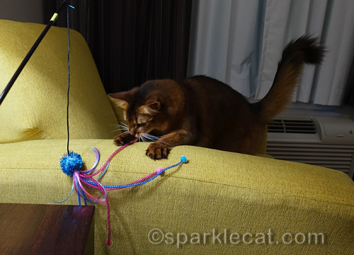 somali cat playing with her new favorite toy
