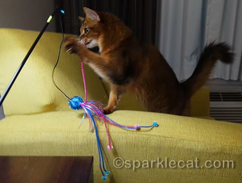 another photo of somali cat playing with her new favorite toy