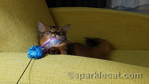 somali cat catching her new toy